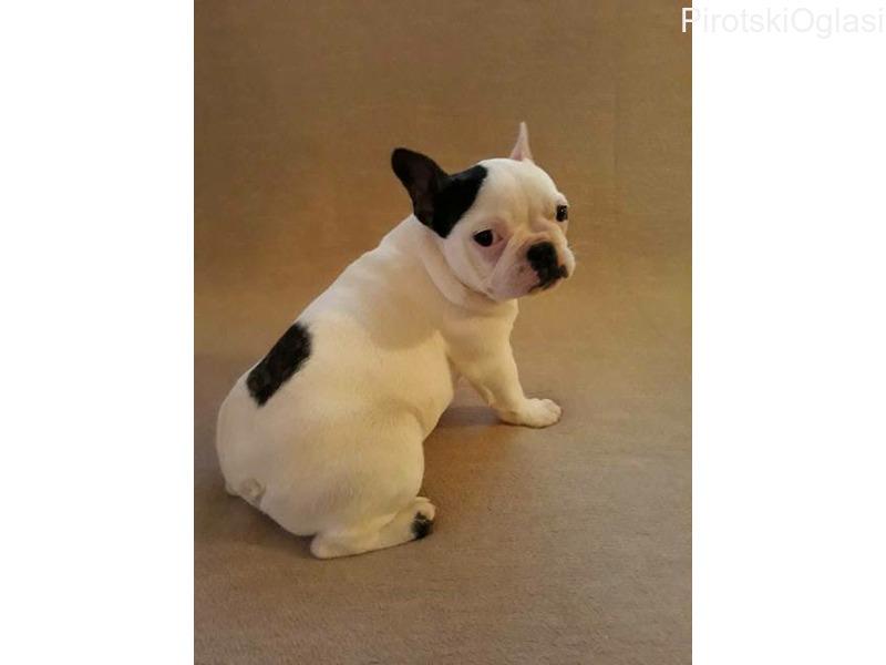 Francuski buldog žensko štene