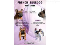 Francuski buldog, odlicnog porekla