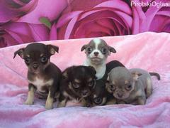 Kvalitetni Chihuahua štenci