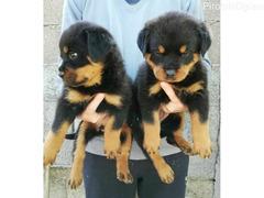 Rotvajler, štenci