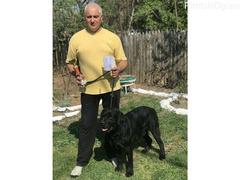 Labrador retriver POSEIDON – slobodan za parenje